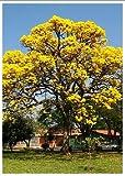 TROPICA - Gelber Jacaranda - 5 Samen
