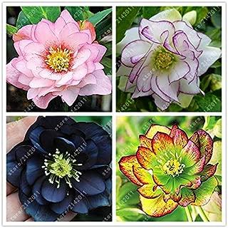 WANCHEN 100PCS/BAG helleborus seeds Winter Rose flower grow in Winter rare flower seeds outdoor plant for home garden