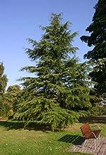 1 oz Seeds (Approx 229 Seeds) of Cedrus deodara, Deodar Cedar, Himalayan Cedar