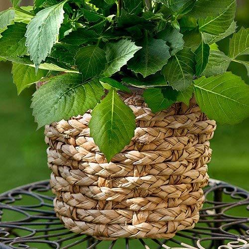日比谷花壇敬老の日花花鉢鉢物「ダリア」ギフトプレゼント