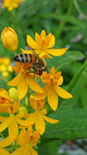 Yellow Milkweed Tropical Live Plant Perennial Butterfly Garden Host Asclepias