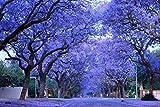 Azul púrpura del Jacaranda Jacaranda Mimosifolia árbol arbusto de la herencia 30 semillas a granel