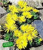 BALDUR Garten Winterharter Bodendecker Goldtaler, 2 Pflanzen Delosperma congestum Steingarten