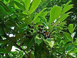11 Seeds of Prunus laurocerasus, Cherry Laurel