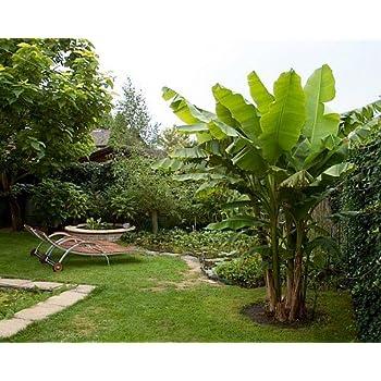 Amazon Com Ohio Grown Winter Hardy Basjoo Banana Plant Musa