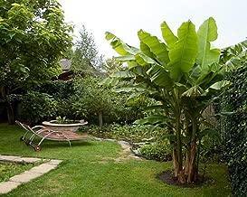 Ohio Grown Winter Hardy Basjoo Banana Plant - Musa - 4
