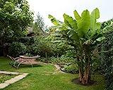 Ohio Grown Winter Hardy Basjoo Banana Plant - Musa - 4' Pot