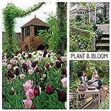 plant & bloom – bulbi da fiore, tulipani dall'olanda - 30 bulbi, semina autunnale, facile da coltivare, fioritura primaverile – rossi, rosa e bianchi - qualità superiore olandese
