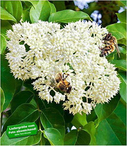BALDUR-Garten Bienenbaum - Tausendblütenstrauch,1 Pflanze Tetradium daniellii, Euodia hupehensis, Bienennährpflanze
