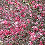 Manuka Tree Seeds (Leptospermum scoparium) 10+ Rare...