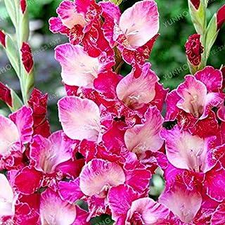 Pinkdose Los verdaderos Bulbos del gladiolo rosa, flor Gladiolo hermoso, flor simboliza la longevidad, Jardín de Plantas (Gladiolu Bonsai), 2 bombillas: 4
