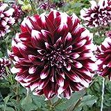 Rare Dahlia Opera White and Dark Purple 100+ Fresh Seeds