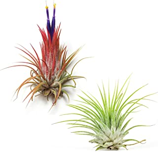 Air Plant Shop's 5-Pack of Tillandsia Ionantha Guatemala Air Plants - 30 Day Guarantee - Wholesale - Bulk - Fast Shipping - House Plants - Succulents - Free Air Plant Care Ebook By Jody James