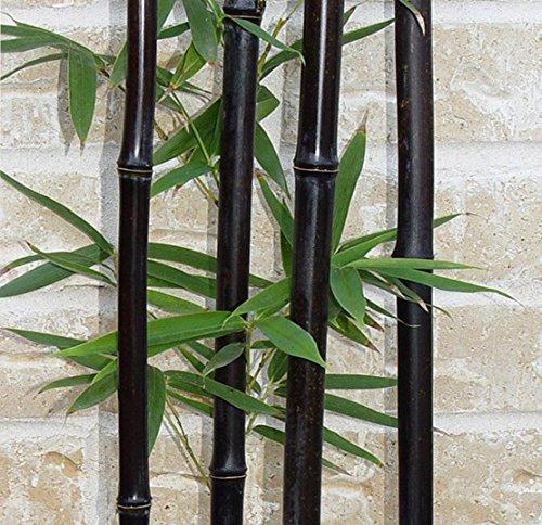 50 graines/sac GRAINES rares - BLACK BAMBOO Phyllostachys Nigra Dendrocalamus asper Betung Hitam - noir culmed bambou rugueux - graines