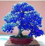 Rodman 10 PCS Blue Maple Seeds Bonsai Pflanzen Seltener Balkon Bonsai Baum Pflanzen Bonsai Baum...