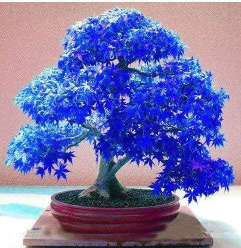 Boheng Bonsai Blu 10 Semi di Foglie di Acero Blu