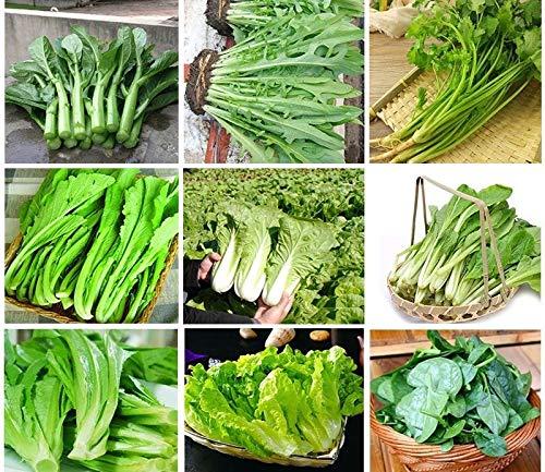 Portal Cool Rom Salat Römersalat: Grüne Frühlings-Herbst-Gemüsesamen China-Garten-Yard Balkon Gemüse Pflanzensamen Säen Jahreszeiten Genuine Balkon Garten Samen