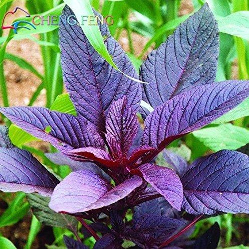 Deep Blue: Hot mixte rouge feuille verte Amaranth Semences potagères 100Seed Jardin Plante Diy Facile à cultiver herbes de légumes Semences santé bateau libre
