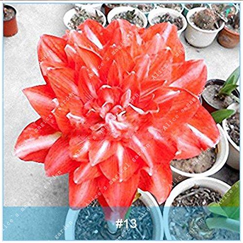 ZLKING 2 Pcs Amaryllis Ampoules Bonsai Barbade Lily Graines Balcon Pas de fleurs Hippeastrum Ampoule hydroponique Racine Fleur 13 Plantes en pot