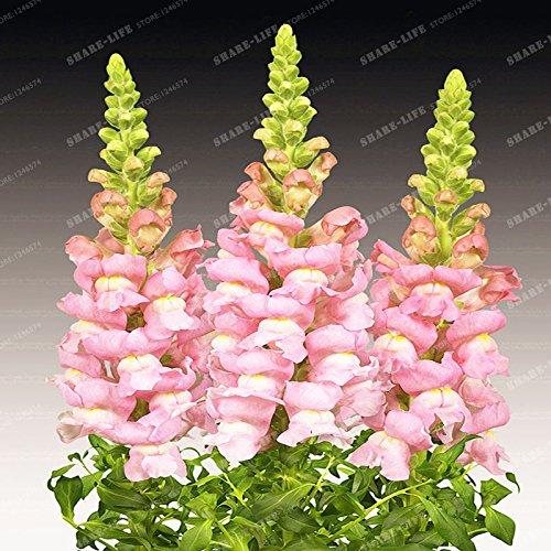 100 Pcs muflier Majus Graines Mixte nain Couleur commune snap Graines de fleurs Jardin Accueil Plantes Bonsai pot So Beautiful 4