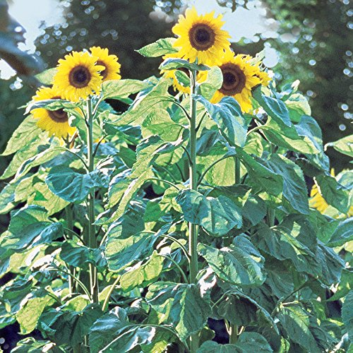 Burpee Pike's Peak Sunflower Seeds 50 seeds