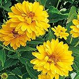 6 x Heliopsis Helianthoides 'Summer Sun' - Sonnenauge Summer Sun Kleincontainer 9cm x 9cm