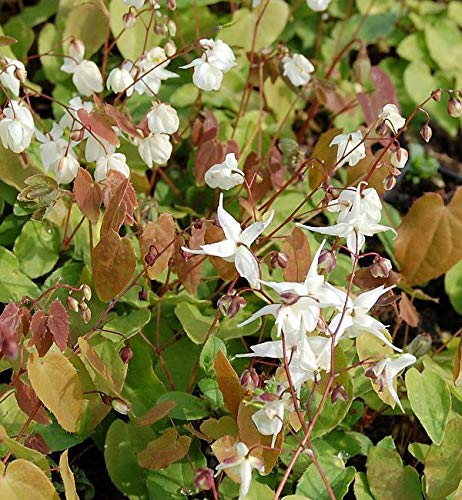 Zierliche Elfenblume - Epimedium youngianum