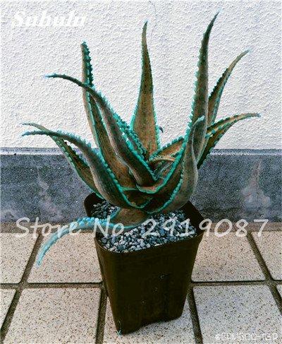 Nouveau! 20 Pcs coloré Cactus Rebutia Variété Mix Exotique Aloe Graine Cacti Bureau Rare Cactus comestible Beauté Succulent Bonsai plante 5