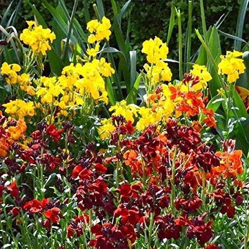 David's Garden Seeds Flower WallFlower English SL0383 (Multi) 500 Non-GMO, Heirloom Seeds