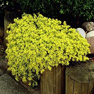 Iekofo Seed house - Scented Long-haired Mountain Thyme Seeds Sand Thyme Creeping Carpets Groundcover Perennial Flowers Stonecrop Seed Hardy Perennial