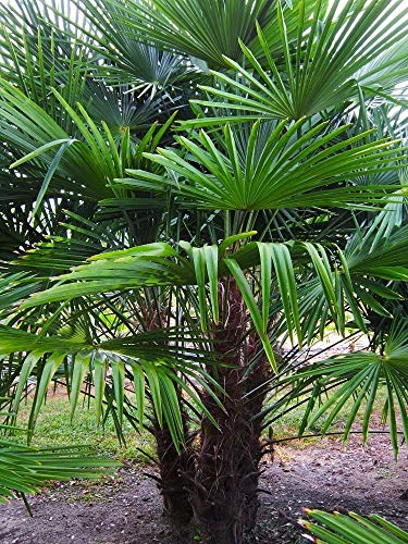 Frostgewöhnte Trachycarpus princeps