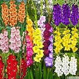 Gladiolo 'Mix 100 PCS (Mezclar) [Bulbos de flores de verano] - Amsterdam Flower Bulbs Online ®
