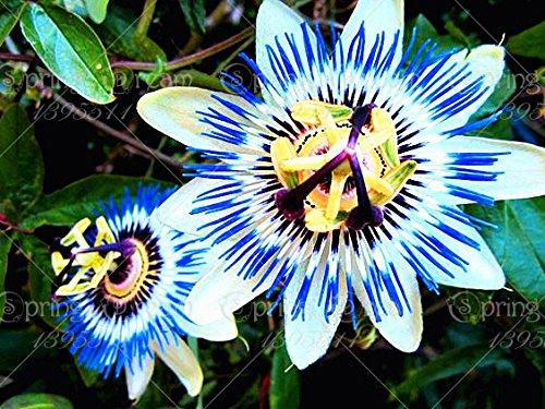 5pcs Passiflore (Passiflora incarnata), plantes Passion fruits exotiques Graines grenadille pour le jardin à la maison 7