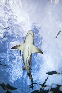 Posterazzi Grand Bahamas West End Lemon Shark (Negaprion Brevirostris) Underwater with Remoras Poster Print, (12 x 19)
