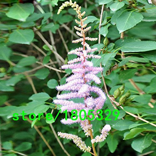 Hot Sale Red Shallow Graines Violet Astilbe Chinensis Balcon Jardin Patio Plantes en pot Bonsai chinois Astilbe fleur semences 100PCS