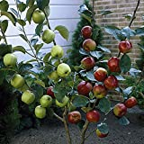 YouGarden Duo Fruit Apple Tree, 2 Varieties on 1 Bare Root Tree