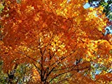 Tree Seeds Online - Acer Saccharum- Arce Sirope 25 Semillas - 2 PaPaquetes