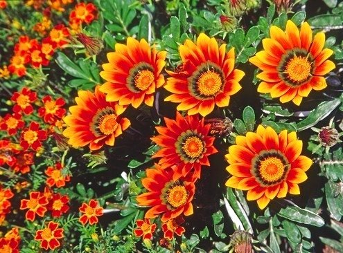 Gazania Sunshine Mix seeds - Gazania rigens - 250 semillas