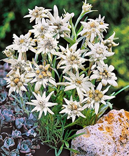 AIMADO Samen-50 Pcs Edelweiß \'Blossom of Snow\' Blumensamen Alpenpflanze Winterhart mehrjährig exotische samen,Pflegeaufwand gering