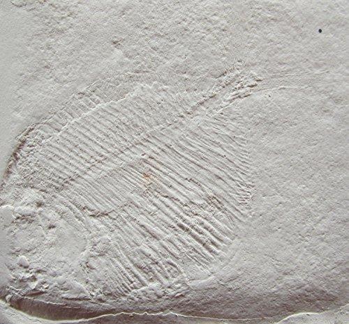 Fossile Replik eines Fischs aus dem Jura; Solnhofer Plattenkalk, Dino, Nachbildung, Fossil, Fossilien Abdruck, Replikat, Tier Tierfossilien
