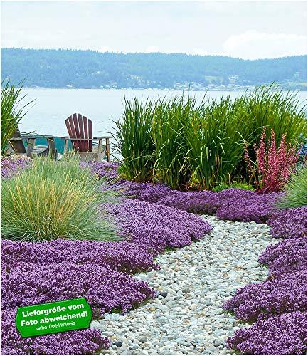 BALDUR-Garten Scharlachroter Feld-Thymian,3 Pflanzen Thymus, winterhart Bodendecker