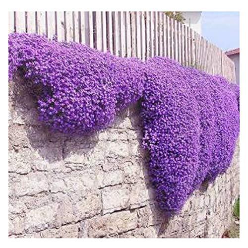 Blumensamen 100 Aubrieta Seeds - Cascade Lila Blumensamen, Superb ausdauernde Bodendecker, Blumensamen für Hausgarten