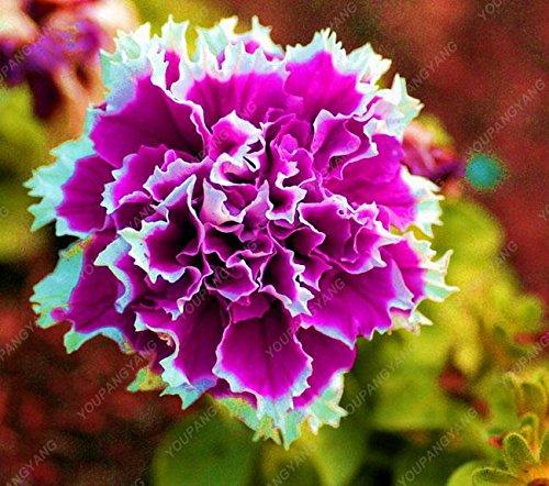 200 Graines Petunia Hanging rares semences de plantes ornementales Graines de fleurs Black Eye fleur pourpre avec bord blanc jardin Plantes multicolor