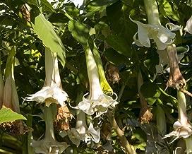 ScoutSeed Datura Angel's Trumpet 5 Semillas-Aroma Dulce, Floraciones Pesadas