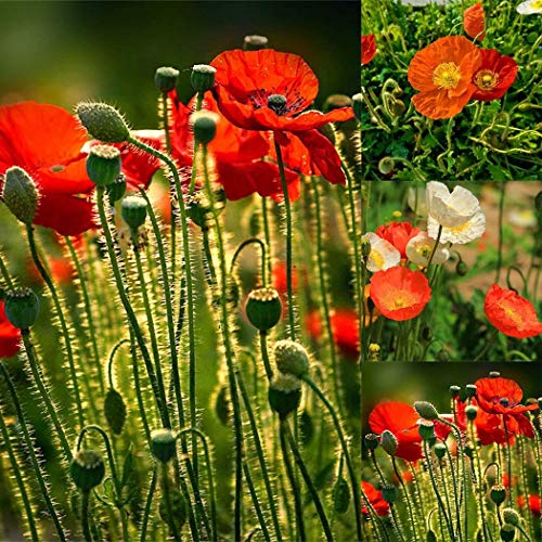 Tomasa Gartensamen- 100 Stück Mohn Samen Mischung Blumensamen Gartenmohn winterhart mehrjährig Blumen Saatgut Zierblumen Pflanzensamen für Terrasse/Balkon/Garten