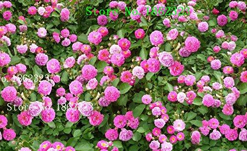 Hot! 100 pcs Rose Fleurs graines de semis de plantes rose balcon plantes bonsaï graines de fleurs rose graines