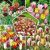 50 x Spezial-Frühlingsmischung | Exklusive Tulpenzwiebeln aus Holland | Mindestens 20 verschiedene Sorten | Winterharte und mehrjährig Tulpe für Garten, Töpfe und Balkon.