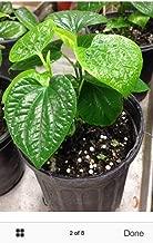 Best betel leaf tree Reviews