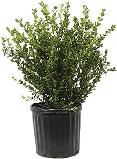 Wintergreen Boxwood (1 gallon)