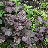 ScoutSeed Hoja grande Púrpura Semilla de albahaca Orgánica Ocimum Perilla Frutescens Semilla Hierba vegetal